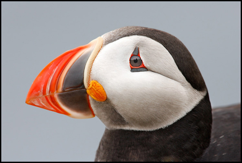 puffin-1 low-res